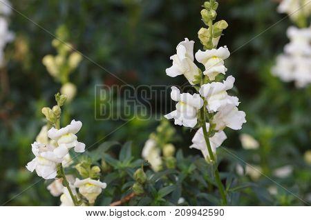 White Antirrhinum majus snapdragon flowers growing in the garden