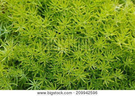 Green sedum succulent plant background (top view)