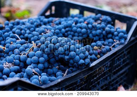 Baskets Of Blue Grapes Recently Harvested. Blue Grapes Background Of Freshly Picked Grapes, Wine Gra