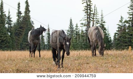 Wild Horses – Three Bachelor Stallions In The Pryor Mountains Wild Horse Range In Montana United Sta