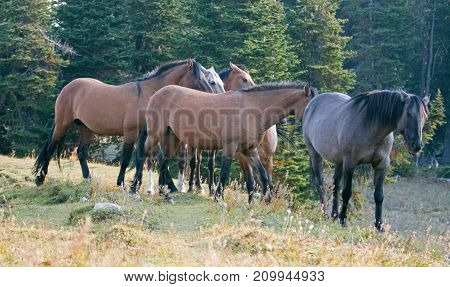 Herd of wild horses on grassy ridge in the Pryor Mountains Wild Horse Range in Montana United States