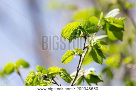 young leaves on a tree branch in nature