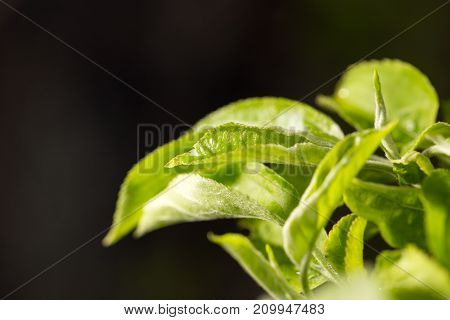 beautiful leaves on the bush in the spring nature