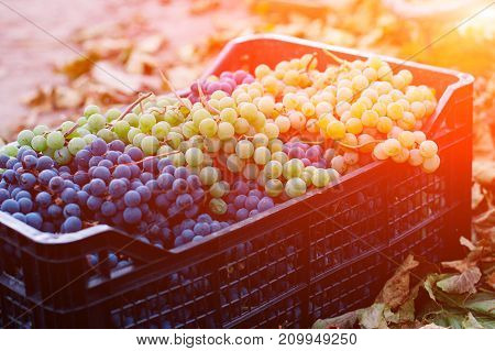 Grapes In A Box. Background Of Freshly Picked Grapes