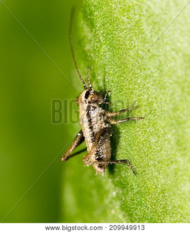 small grasshopper on a green leaf. close-up