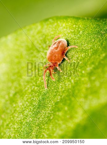 Red bug on a green leaf. close-up