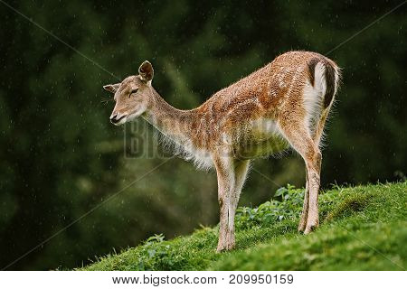 Deer At The Edge Of The Forest