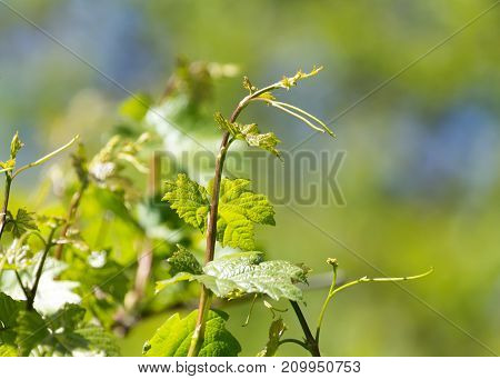 beautiful branch of grapes with green leaves