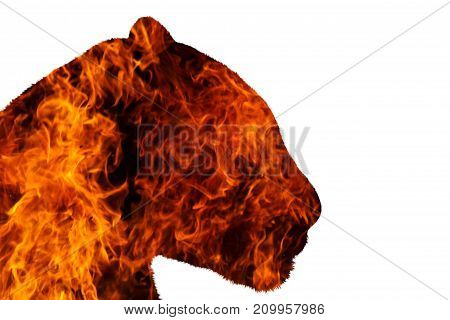 jaguar with fire on a white background , fire, wildlife predators