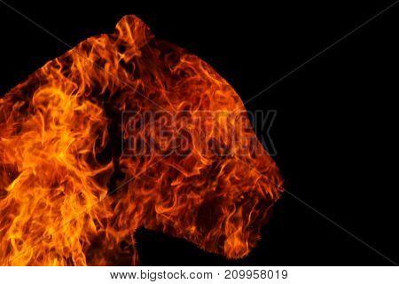 jaguar with fire on black background , fire, wildlife predators