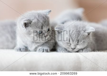 Two cute tiny kittens. One is sleeping, the other one is looking at him. British shorthair cats.