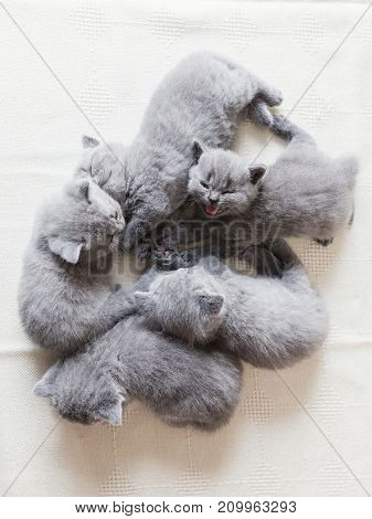 Group of tiny adorable cats laying together. One is meowing towards the camera. British shorthair.