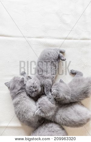 Bunch of small lovely grey baby cats. Sleeping fluffy kittens. British shorthair.