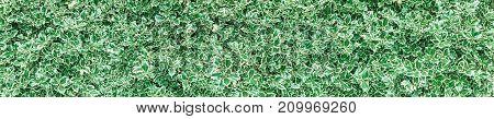 Variegated Christmas holly (Ilex aquifolium) bush hedge panoramic horizontal background