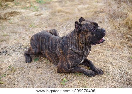 Funny doggie walking on the street. A dark pitbull lying on the sand on a natural background. Close-up of dog. Animal concept.