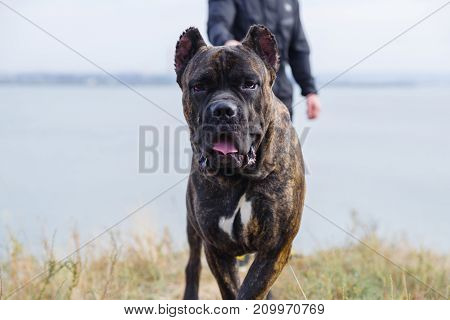A big dark pitbull walking with owner outdoors. Cute dog standing near the man. River on the background. Close-up of doggie. Animal concept.