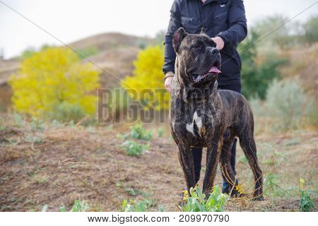 A big dark pitbull walking with owner outdoors. Cute dog standing near the man on the nature background. Close-up of dog. Copy space. Animal concept.