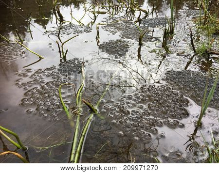Frog eggs from the Common Frog, Rana temporaria, in Svarttjern in Baneheia, Kristiansand, Norway