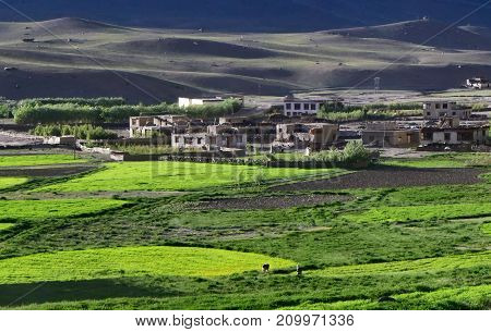 High mountain village on a background of gray hills in front of the white houses of peasants spread fields of wheat bright green in the sun Tibet.