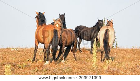 Wild Horses - Band and Bachelor stallions fighting in the morning in the Pryor Mountains Wild Horse Range in Montana United States