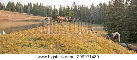 Small Herds Of Wild Horses At The Grassy Edge Of A Waterhole In The Pryor Mountains Wild Horse Range