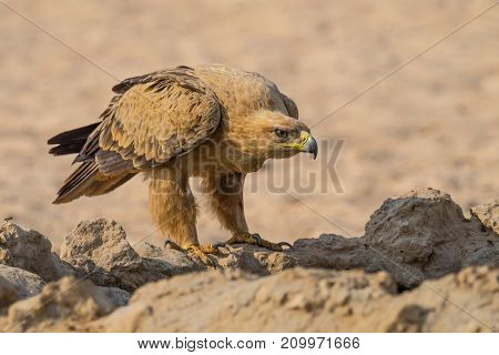 A Tawny Eagle at a waterhole in the Kgalagadi Transfrontier Park which straddles South Africa and Botswana.