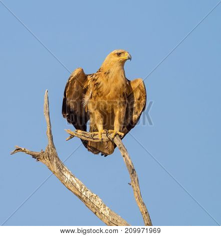 A Tawny Eagle perched on a dead tree in the Kgalagadi Transfrontier Park which straddles South Africa and Botswana.