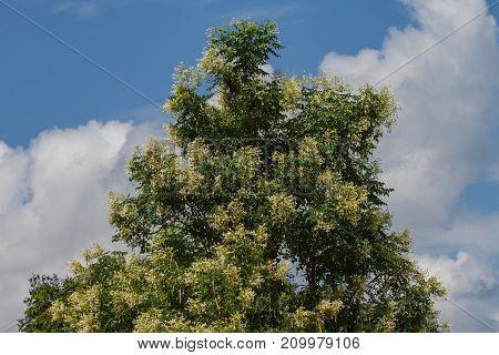 Cork Tree Or Indian Cork Flower