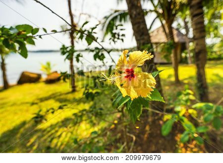 single yellow hibiscus flower in the garden - can use to display or montage on product