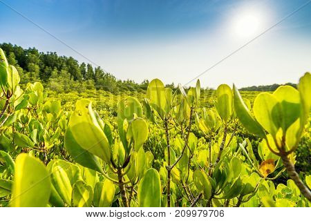 Mangrove forest and blue sky - can use to display or montage on product