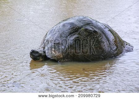 Galapagos Giant Tortoise In A Pond On Santa Cruz Island In Galapagos National Park, Ecuador.
