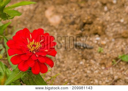 Closeup Of Red Star Flower