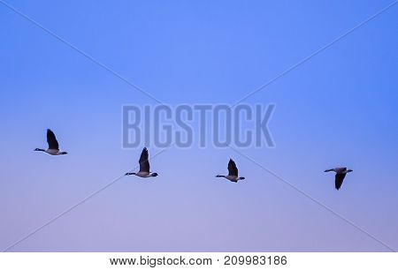 A flock of canadian geese with a focus on four of them lined up on an autumn day