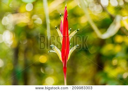 beautiful Yellow and red Heliconia flowers in the garden