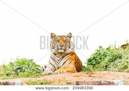 tiger posing isolate white background with clipping path