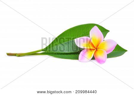 pink frangipani or plumeria (tropical flowers) with green leaves isolated on white background