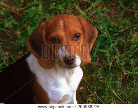 Beagle puppy looking into camera in the grass