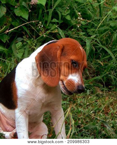 A beagle puppy sitting outside eating on some grass
