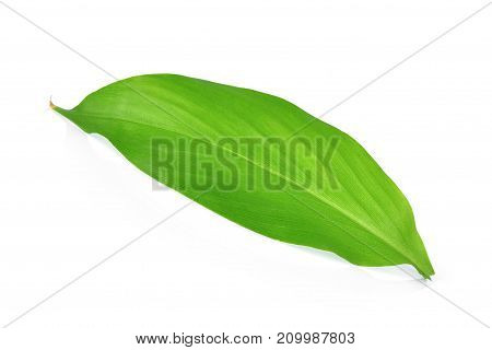single turmeric leaf isolated on white background