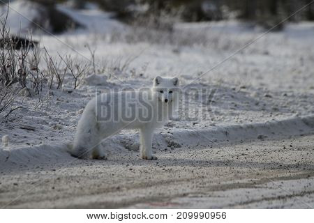 Arctic fox (Vulpes Lagopus) on the side of a gravel road, near Churchill Manitoba