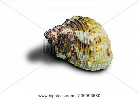 Beautiful sea shell. Shell of an ancient sea mollusk
