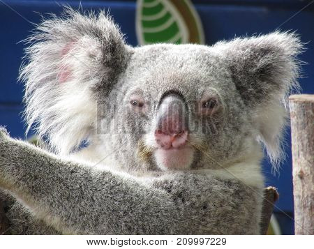 BRISBANE AUSTRALIA - OCTOBER 2017: Koala Close Up on 20 October 2017 Brisbane Australia