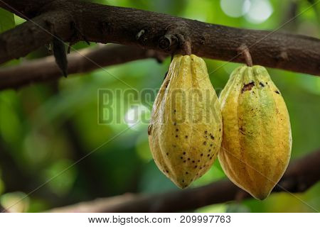 Cacao Tree (Theobroma cacao). Organic cocoa fruit pods in natureThailand.