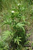 Poisonous danewort (Sambucus ebulus) is an invasive specie that aggressively displaces other plants and destroys the ecosystem poster
