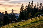 lonely horse grazing on grassy hillside meadow. pasture not far from the village near the spruce forest in mountains at sunset poster