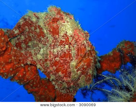 Tropical Fish Stonefish