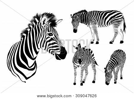 Graphical Set Of Zebra. Wild Animal Texture Design. Striped Black And White. Illustration Isolated O