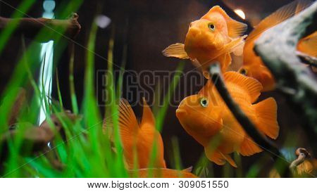 Close-up Of Golden Fish Swimming In Aquarium. Frame. Tropical Big Goldfish With White Spots Swim In