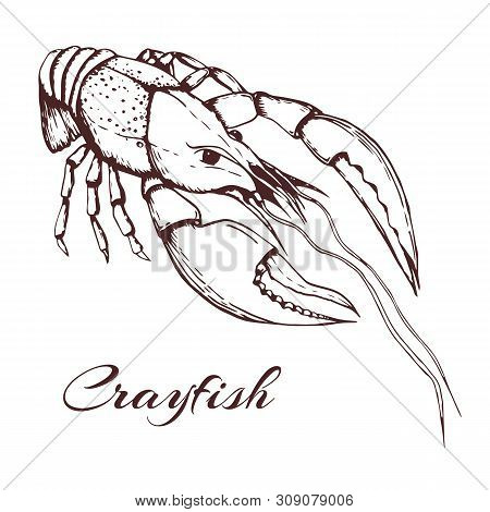 Hand Drawn Vector Vintage Illustration Of Crayfish On White Background. Engraved Crawfish Graphic. I