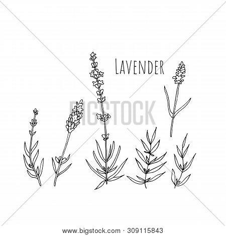 Set Of Lavender Flowers Elements. Botanical Illustration.